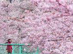 sakura-di-jepang_20180411_190141.jpg