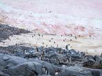 salju-merah-muda-di-antartika_20180918_213537.jpg