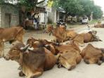 sapi-sapi-yang-berkeliaran_20160927_173358.jpg