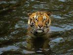satwa-harimau-di-taman-safari-prigen-1.jpg