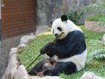 satwa-panda-di-kebun-binatang-chiang-mai.jpg