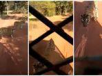 seekor-harimau-mengejar-bus-turis-di-taman-safari.jpg