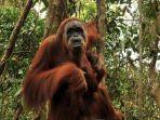 seekor-orangutan-mengendong-anaknya-di-hutan-taman-nasional-gunung-leuser-desa-bukit-lawang.jpg