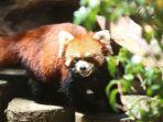 seekor-panda-merah_20171105_174327.jpg