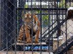seorang-staf-kebun-binatang-tewas-di-terkam-harimau_20171223_182118.jpg