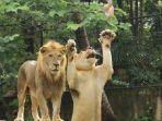 singa-berburu-makanan-di-bali-zoo.jpg