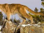 singa-gunung-atau-cougar-di-fort-collins-taman-nasional-colorado-amerika-serikat-as.jpg