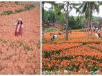 taman-bunga-amarilis.jpg