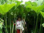 tanaman-tumbuh-raksasa-di-pulau-sakhalin-rusia.jpg