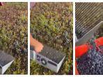 tangkap-layar-video-cara-panen-blueberry-yang-unik.jpg