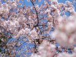 tempat-terbaik-di-indonesia-untuk-menyaksikan-bunga-sakura.jpg