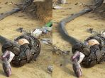 ular-kobra-bertarung-dengan-piton-raksasa_20180204_154946.jpg