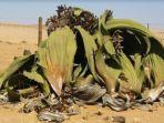 welwitschia-tanaman-unik-dapat-bertahan-selama-ribuan-tahun.jpg