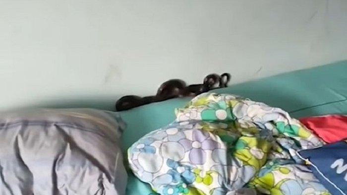 Seekor ular bersembunyi di balik bantal