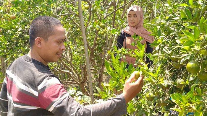 Pengunjung sedang memetik jeruk di Desa Segeran dan Desa Segeran Kidul, Kecamatan Juntinyuat, Kabupaten Indramayu.