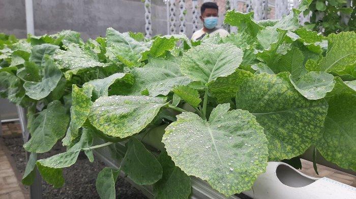 Pengunjung saat memilih sayuran yang akan dipanen di Griya Hidroponik Cirebon, Jalan Sultan Ageng Tirtayasa, Kecamatan Kedawung, Kabupaten Cirebon, Sabtu (23/1/2021)