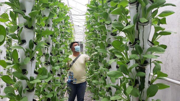 Di Griya Hidroponik Cirebon Pengunjung Bisa Memanen Sendiri Sayuran dan Berswafoto dalam Rumah Hijau