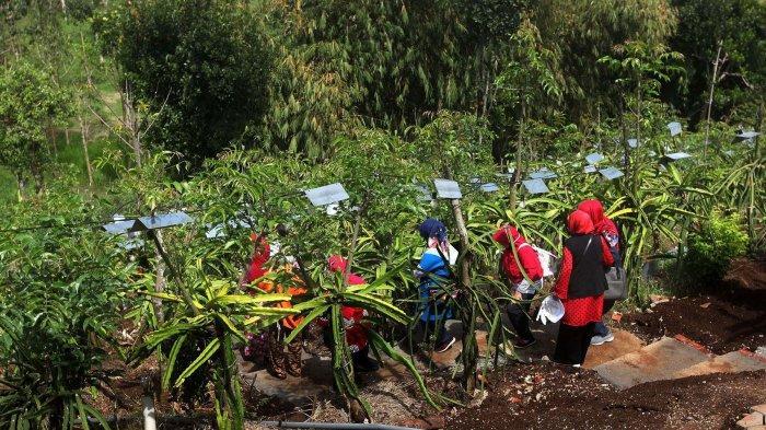 Kebun Buah Naga Poernama, Kampung Jamban Sari, Desa Bayongbong, Kecamatan Bayongbong, Kabupaten Garut