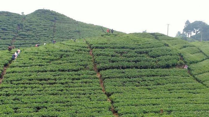 Kebun teh Rancabali, Ciwidey, Kabupaten Bandung