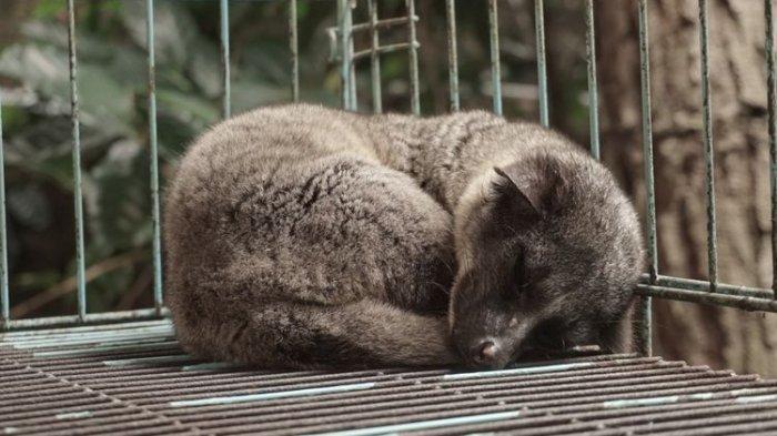 luwak tidur di kandang Kopi Luwak Cikole