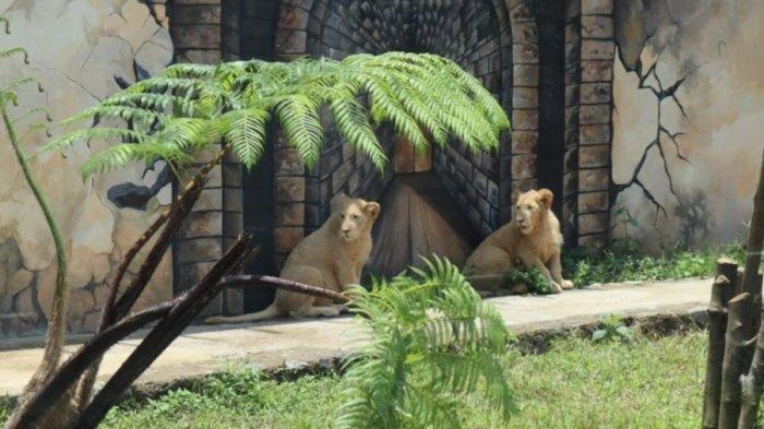Sepasang anak singa putih asal Afrika di Lembang Park Zoo