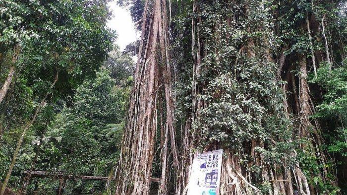 pohon karet munding berusia 150 tahun lebih di Sendang Geulis Kahuripan