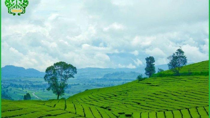 hamparan kebun teh di Wayang Windu Panenjoan, Pangalengan, Kabupaten Bandung