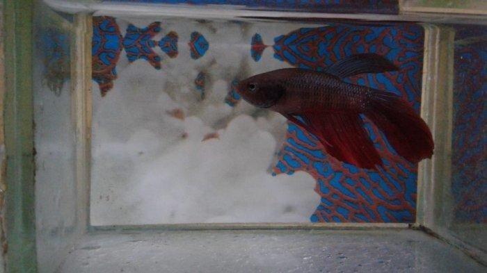 ikan cupang dalam akuarium