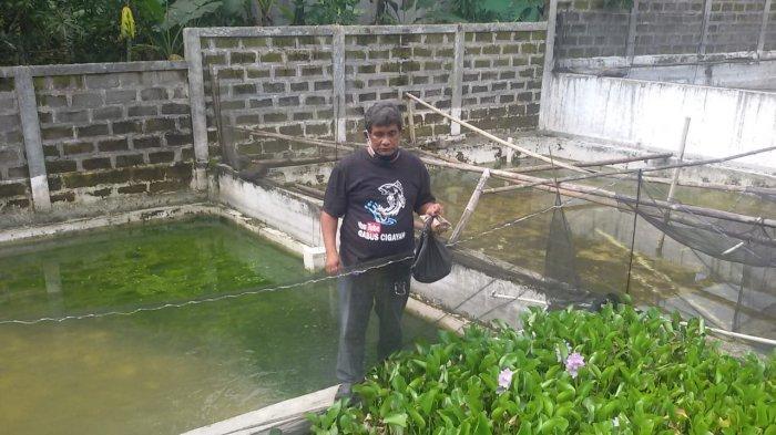 Budi daya ikan gabus  di Dusun Sukadana RT 03, RW 03, Desa Cigayam, Kecamatan Banjaranyar, Ciamis.