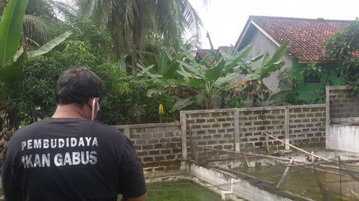 Pembudidayaan ikan gabus di Dusun Sukadana Rt 03  RW 03 Desa Cigayam. Kecamatan Banjaranyar Ciamis.