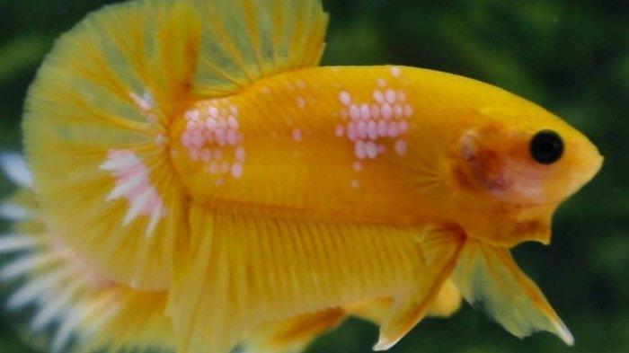 Cupang yellow fancy