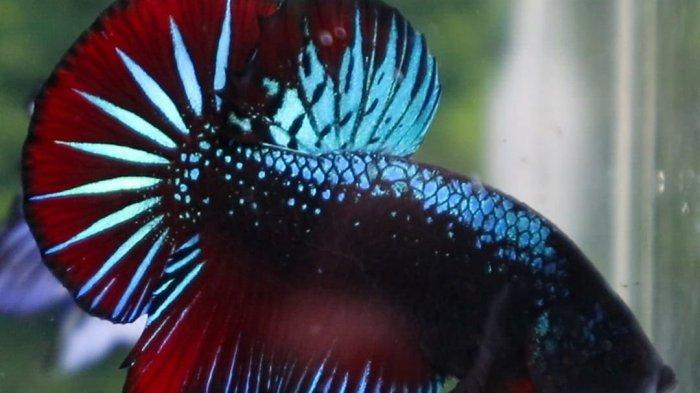cupang halfmoon blue black