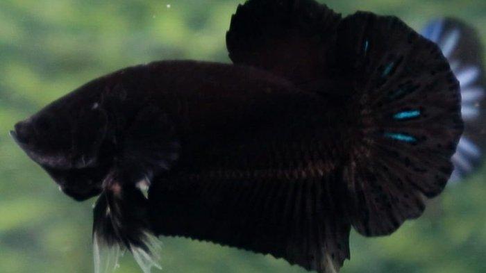 Cupang black