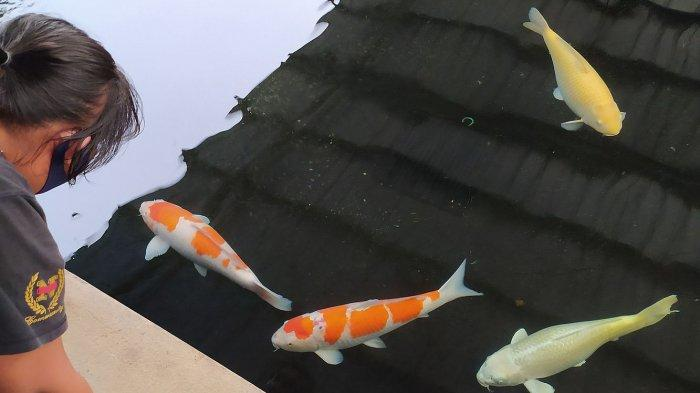 H Syarifudin Datangkan Indukan Ikan Koi Kohaku yang di Jepang Laku Rp 27 miliar ke Cianjur