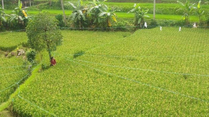 Halimah menjaga sawah garapannya di Desa Rancagoong, Kecamatan Cilaku, Kabupaten Cianjur