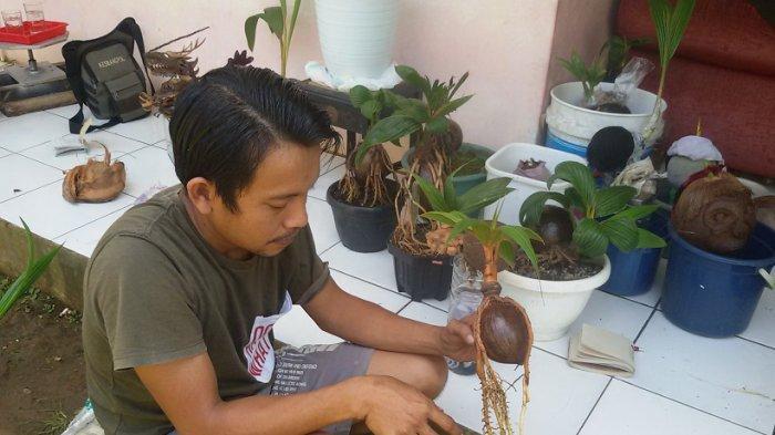 BONSAI KELAPA - Inding Taswan menunjukkan bonsai-bonsai kelapanya di kediamannya, Dusun Ciwahangan, Desa/Kecamatan Baregbeg, Kabupaten Ciamis.