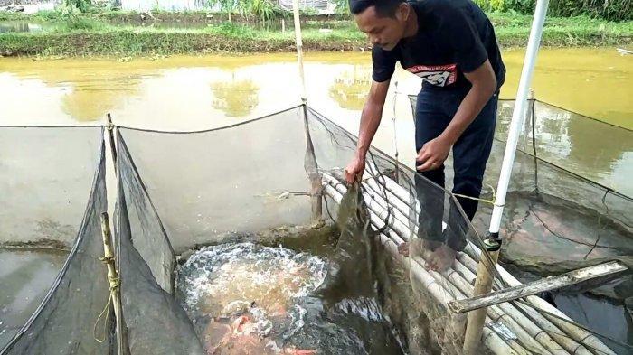 Nendi Sunandar (30) saat memisahkan ikan koi di Kampung Padurenan, Desa Babakan, Kecamatan Cisaat, Kabupaten Sukabumi,untuk dikirim ke luar kota
