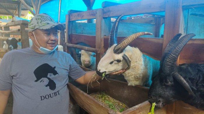 Aljun Edo Rutin Ekspor Domba ke Emirat Arab, Punya Domba Bertanduk 4, Ditawar Youtuber Papan Atas