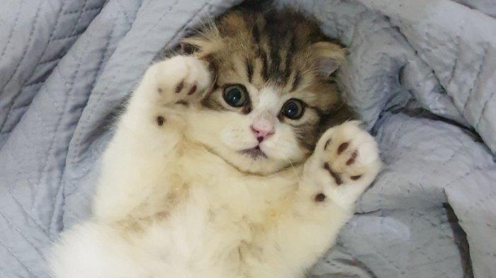 Scottish Fold, Kucing yang Lagi Ngetren Dipelihara, Banyak Disukai Artis