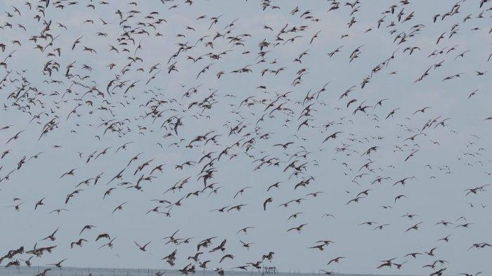 Agustus Hingga Maret Wisatawan Bisa Nikmati Burung Migran Pantai Cemara