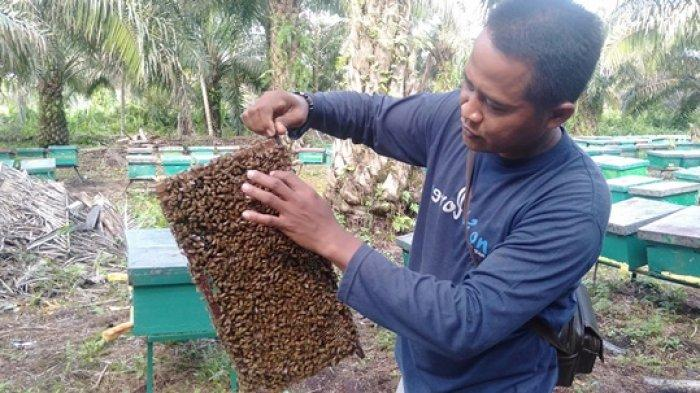 Madu Zabak Tanjab Timur Jambi, Produksi Madu Lebah Pohon Akasia yang Tembus Pasar Dunia