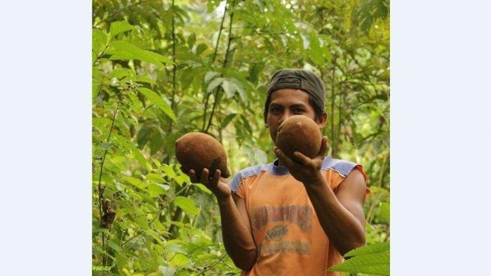 Mengenal Pohon Kepayang di Sarolagun Jambi yang Jadi 'Idola' Turun-temurun