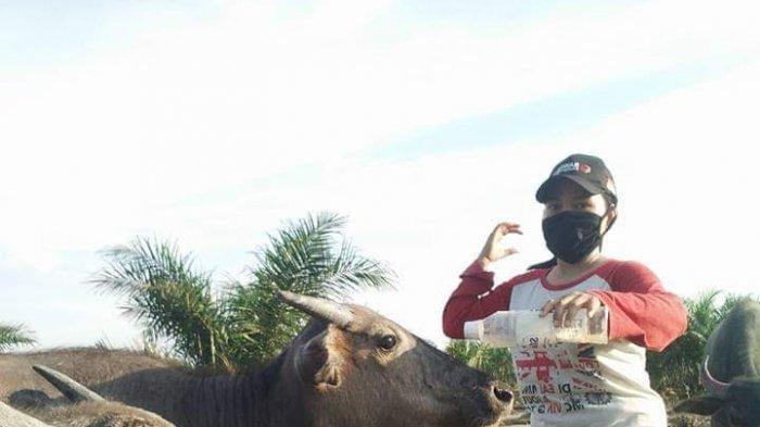 Anisa, denga ternak Kerbau peliharaannya