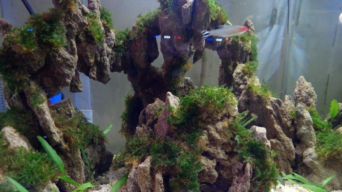 Jenis Ikan-ini Seperti Ini Yang Lazim Digunakan Untuk Isi Aquascape