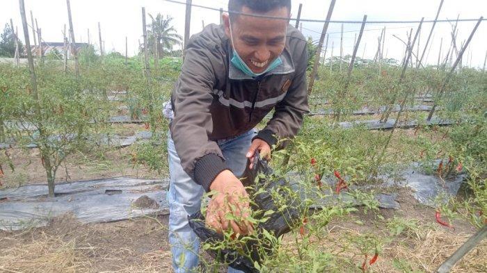 Hasil di kebun Edi Junaedi