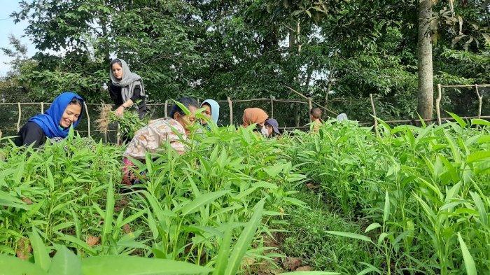Sejumlah perempuan tergabung dalam dua kelompok di Desa Pulau Raman saat panen kangkung