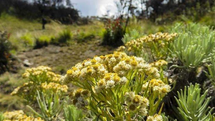 Bunga edelweis menjadi salah satu flora khas yang dijumpai ketika melakukan pendakian di beberapa gunung Indonesia yang begitu menawan saat mekar.