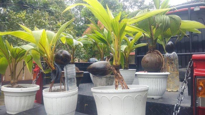 Bonsai kelapa yang sedang digandrungi saat pandemi.