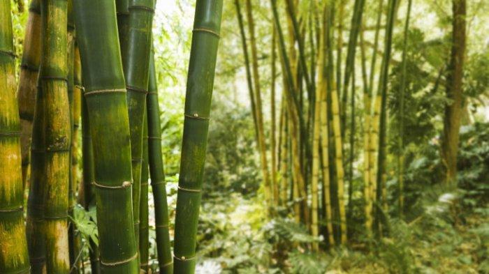 Hutan Bambu di Hutan Wanagama Gunung Kidul Digadang Jadi Spot Wisata Bertema 'Eco Tourism'