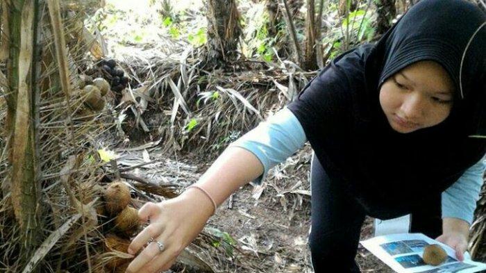 Memanen salak menjadi daya tarik wisatawan di Desa Wisata Gabugan Sleman.